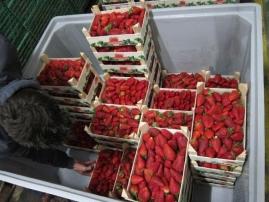 Unloading the strawberries